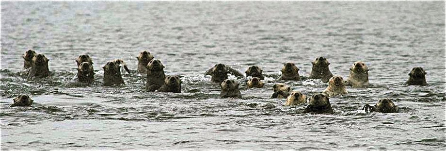 Sea Otters Rafted, photo credit: K. Hansen