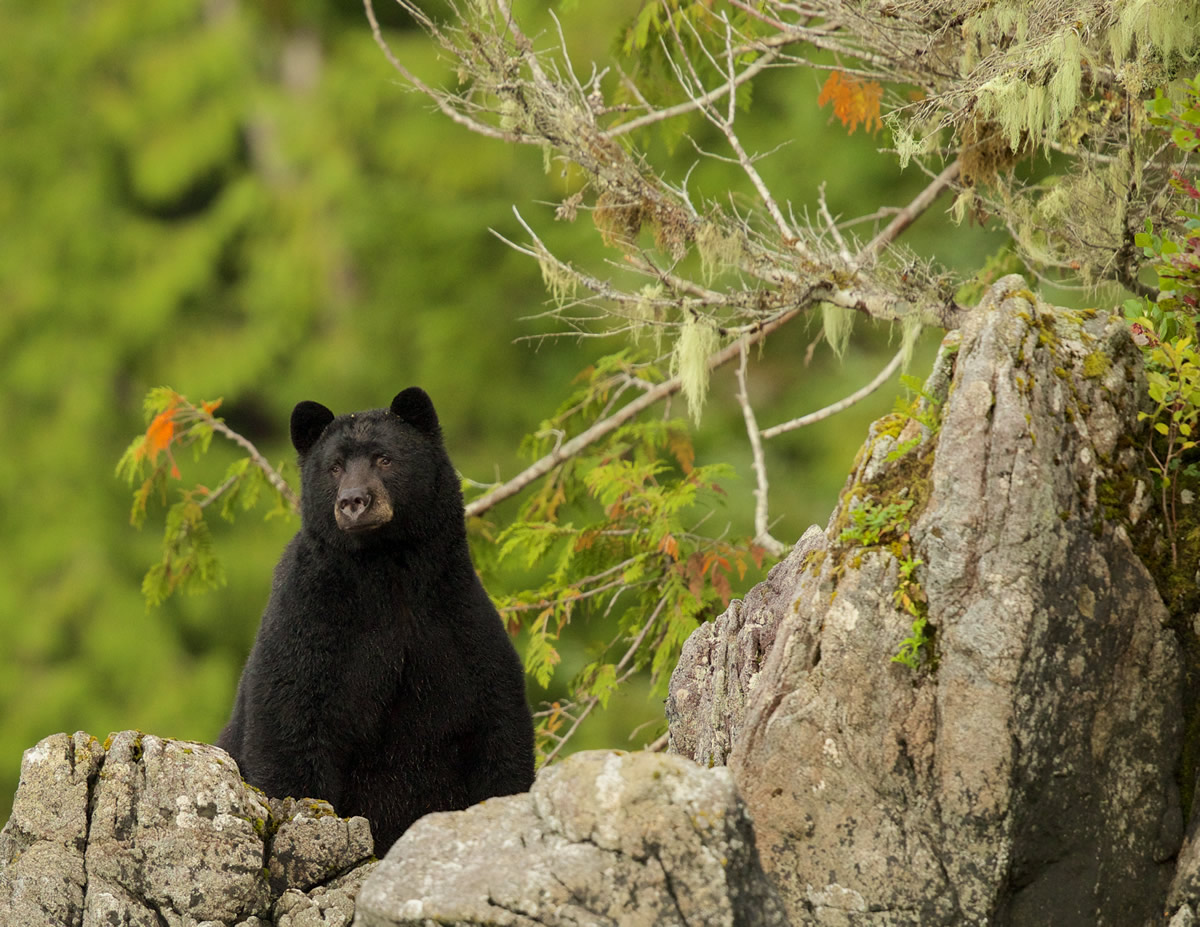 Black Bear watching over river for salmon