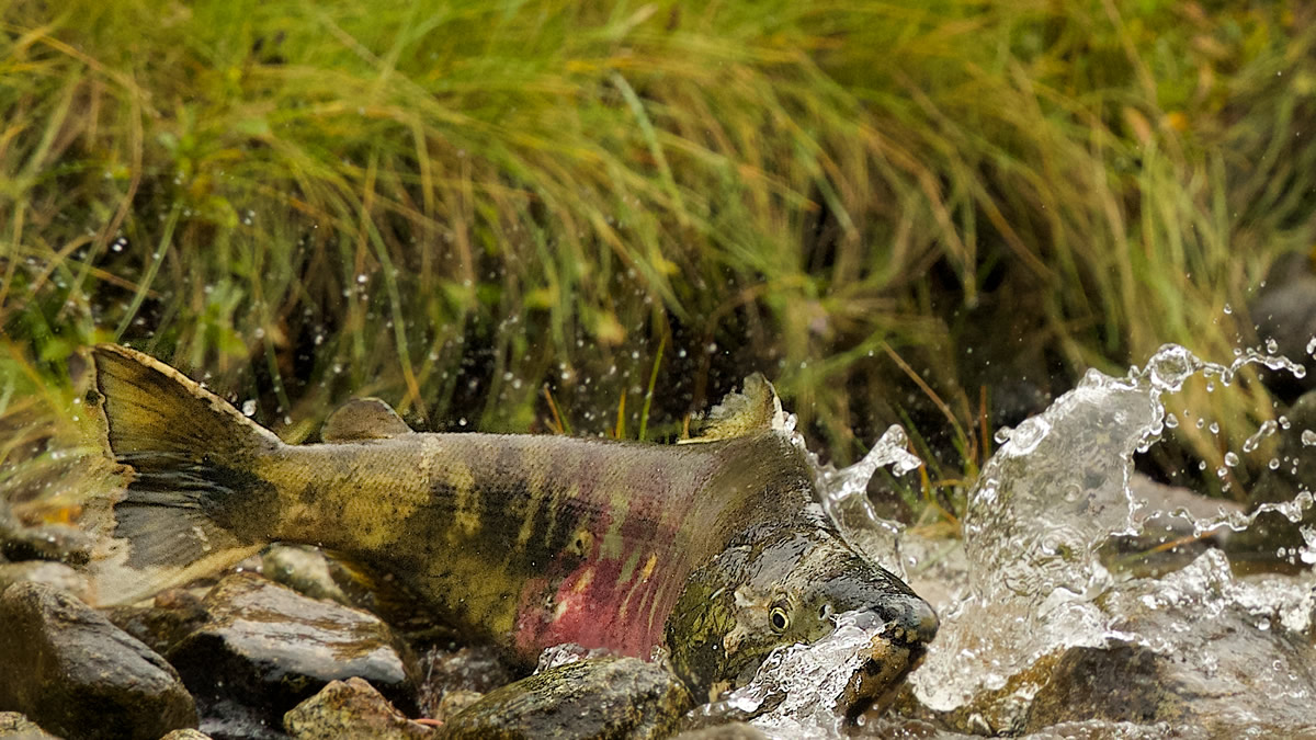Large Chum Salmon fighting his way up a creek in the GBR