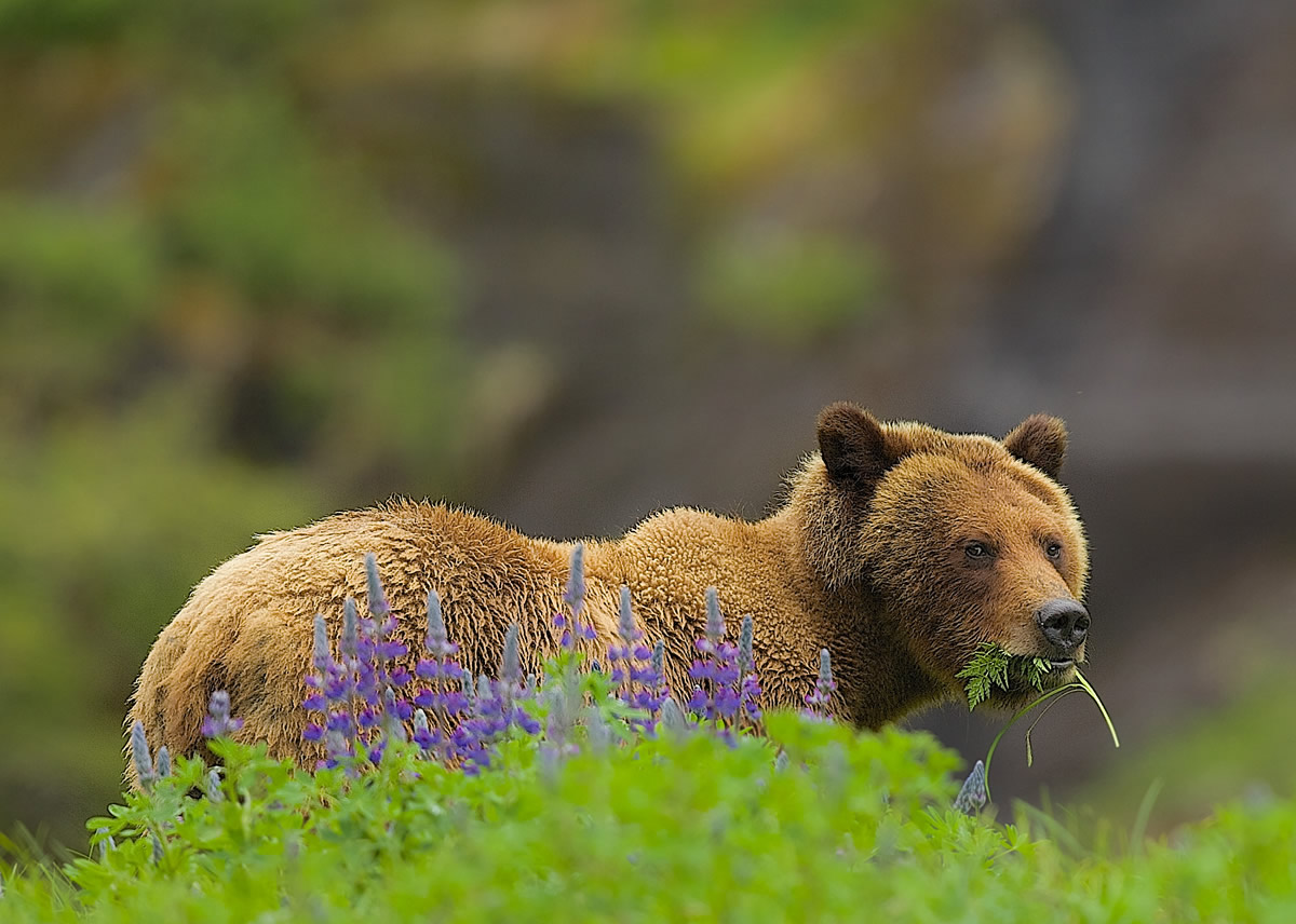 Grizzly eating grass