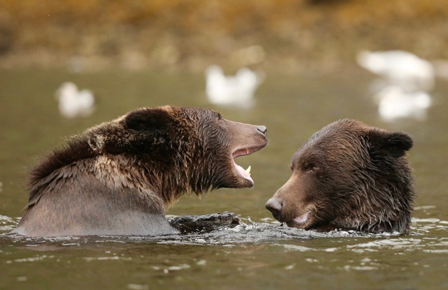 Grizzly Cubs Playing
