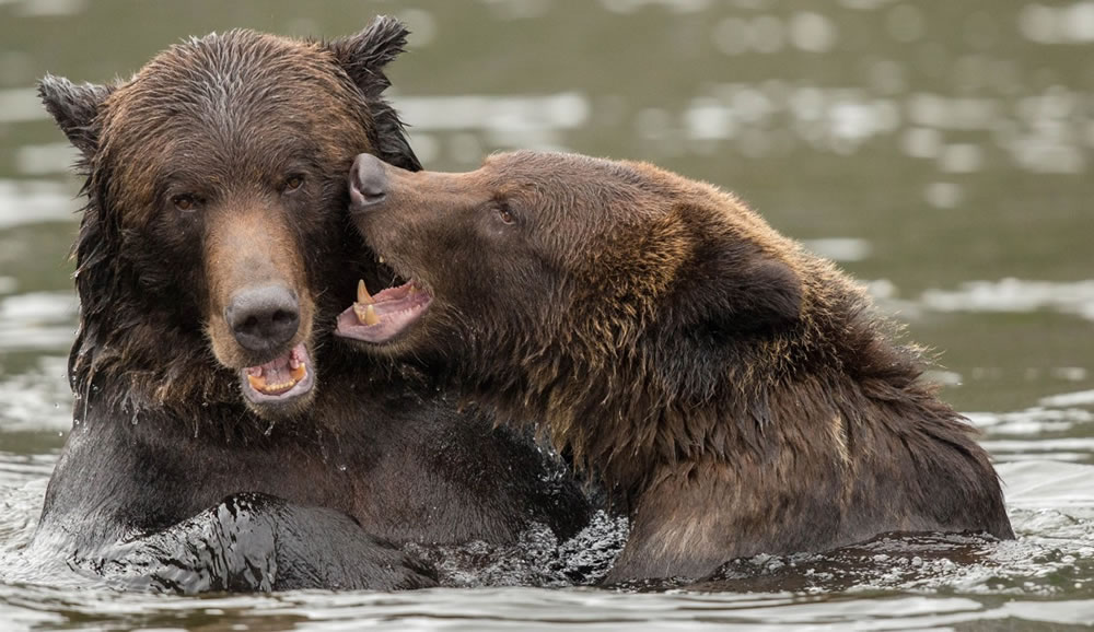 Bears play wrestling in the river