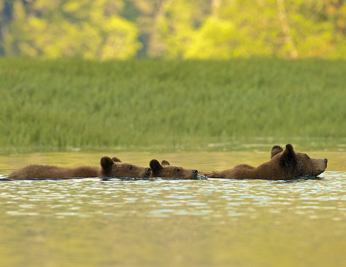 Grizzly Bear mum and cubs swimming at sunset to night beds in rainforest
