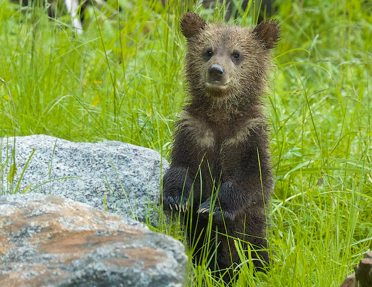 Grizzly cub standing