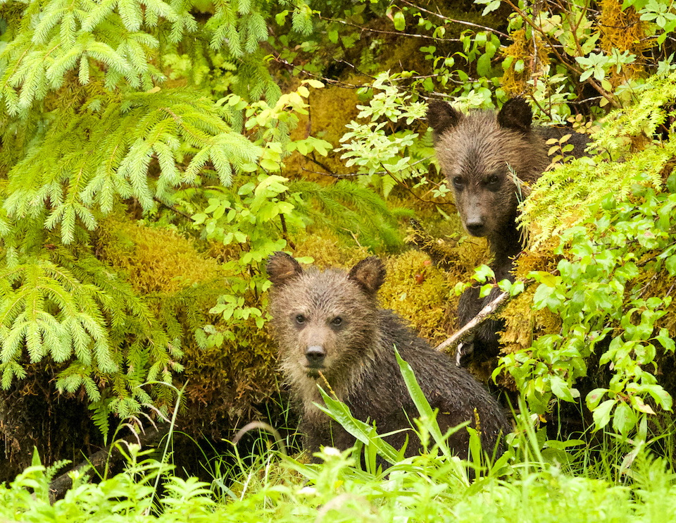 Grizzly Cubs