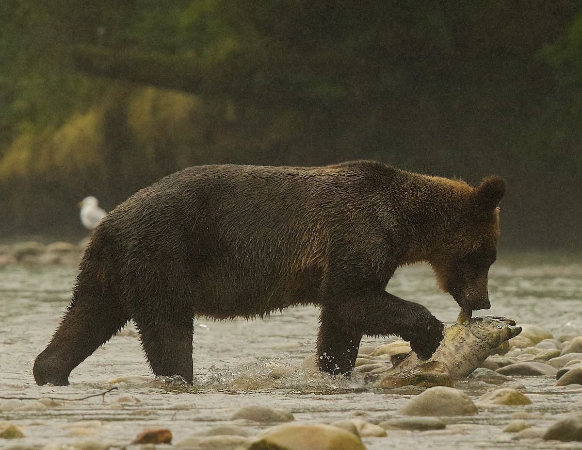 On a misty morning in the GBR, a mother Grizzly fishes