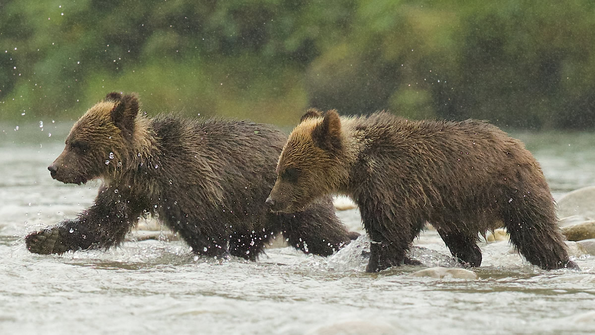 Grizzly cubs coming to fish on the river in the rain