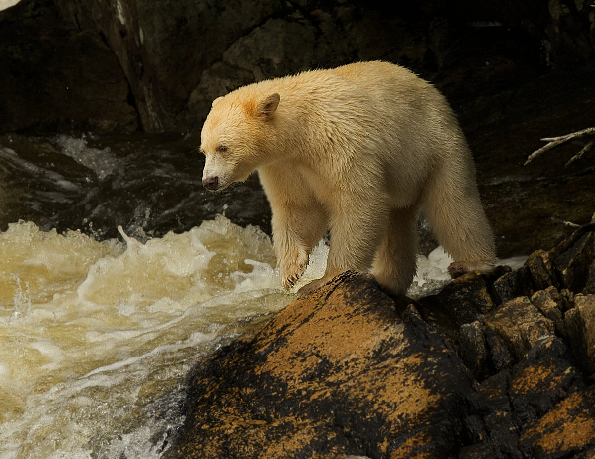 Spirit Bear fishing for salmon