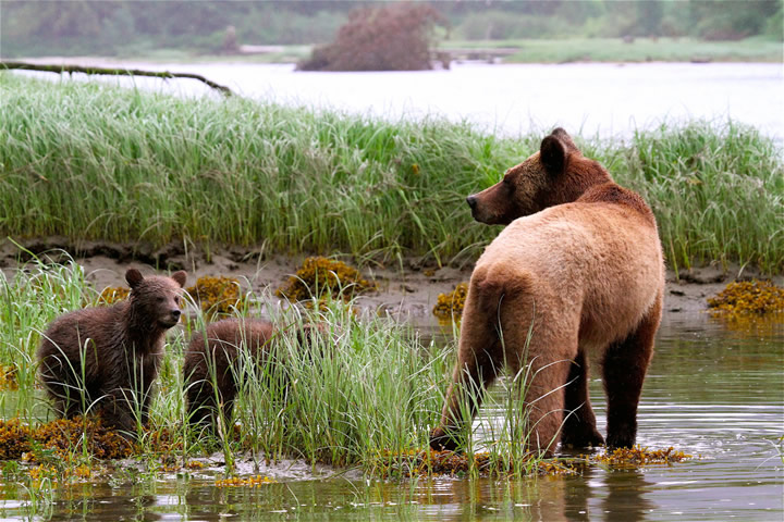 Grizzly Mum with new spring cubs
