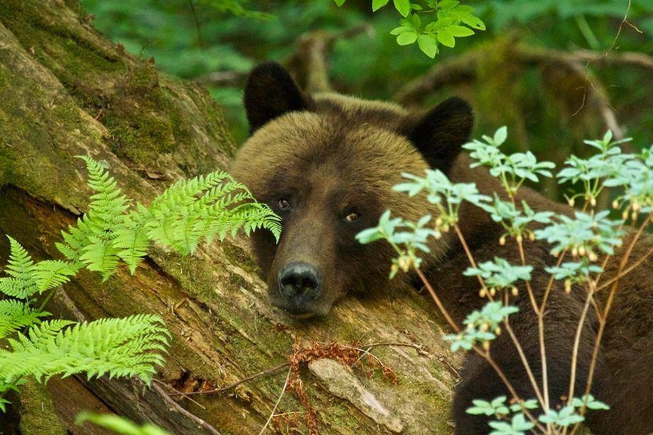 Female Grizzly resting on a log in the Great Bear Rainforest