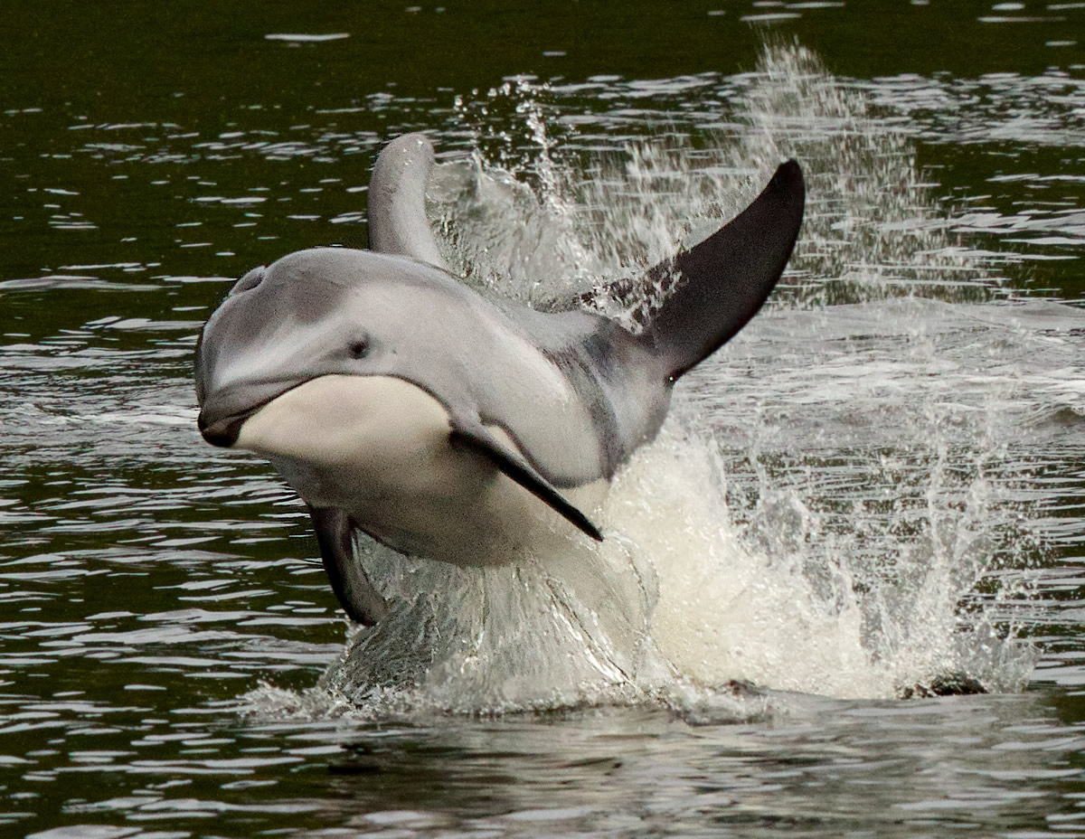 Pacific White Sided Dolphin, known for their acrobatics