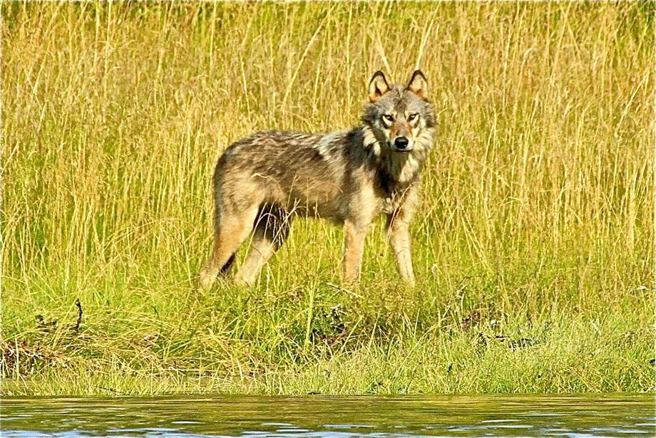 Curious Coastal Wolf