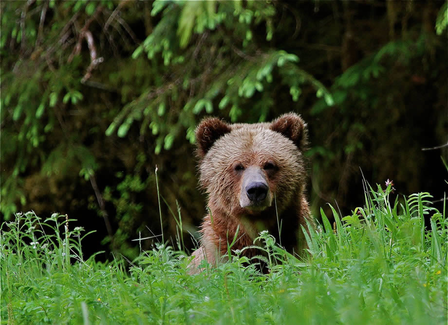 Grizzly Bear viewing in the Great Bear Rainforest