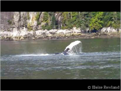 Humpback whale flipper slapping