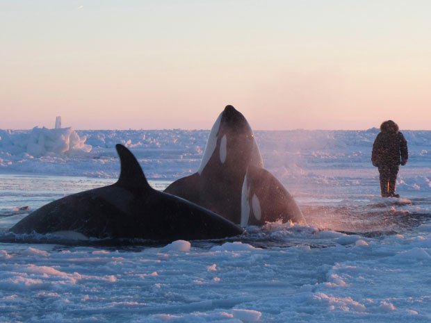 Orcas trapped by sea ice