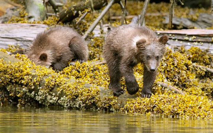 Grizzly cubs foraging at low tide
