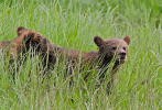 Grizzly cubs in Great Bear Rainforest