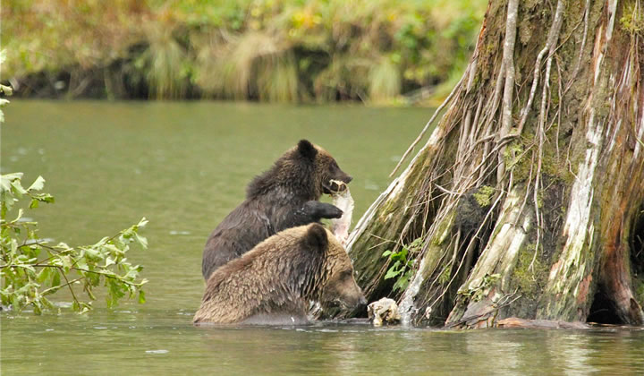 Grizzly mum and cub enjoying their catch