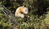 spirit bear in wild crab apple tree