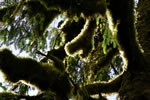 Backlit mossy trees