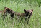 Grizzly cubs in long sedge grass