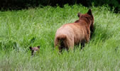 Mum grizzly with cub