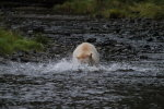 Spirit Bear catching fish