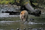 Spirit Bear watching salmon