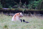 Spirit Bear sharing salmon with Ravens