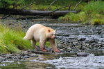 Spirit Bear returning to fish