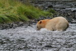 Spirit Bear fishing again