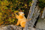 Spirit Bear eating wild crabapples