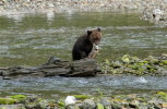 Grizzly cub with big chum salmon