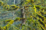 Moss laden trees in the Great Bear Rainforest