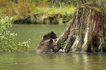Grizzly mum & cub in the Great Bear Rainforest