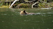 Grizzly Bear 'snorkelling' for salmon