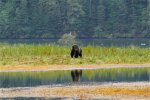 Male Grizzly in Great Bear Rainforest