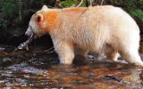 Spirit Bear with salmon