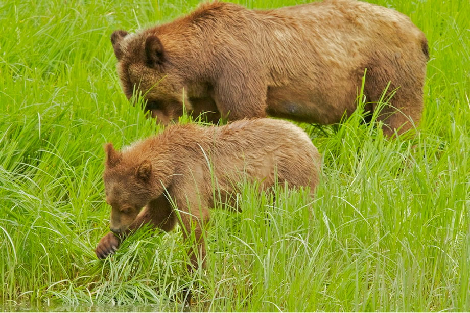 Mum Grizzly & yearling Cub eating sedge grass