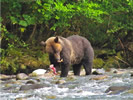 Grizzly Bear Eating Salmon (photo credit: Eloise Rowland)