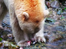 Spirit Bear Eating Salmon (photo credit: Eloise Rowland)