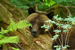 Grizzly Bear resting in the rainforest