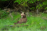 Yearling Grizzly Bear cub in the Great Bear Rainforest