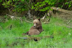 Grizzly cub in the Great Bear Rainfoest
