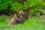 Grizzly Bear mum nursing cub