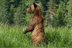 Grizzly Bear scanning for danger