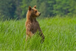 Yearling Grizzly Bear cub looking for Mum