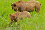 Grizzly Bear mum & cub eating protein rich sedge grass