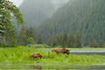 Grizzly Bears in the Great Bear Rainforest