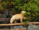 Young female Spirit bear looking for wild crabapples